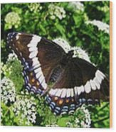 Posing Butterfly Wood Print