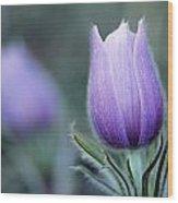 Prairie Crocus Anemone Patens Wood Print