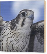 Prairie Falcon In Flight Wood Print