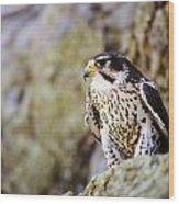 Prairie Falcon On Rock Ledge Wood Print