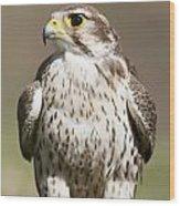Prairie Falcon Perches On The Ground Wood Print