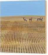 Prairie Pronghorns Wood Print