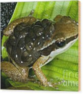 Pratts Rocket Frog With Young Wood Print