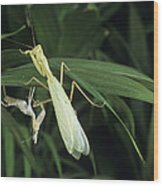 Praying Mantis With Its Shed Skin Wood Print