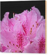 Pretty Pink Rhododendron Blossoms Wood Print