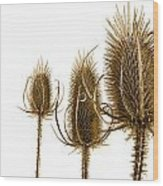 Prickly Teasels On White Wood Print