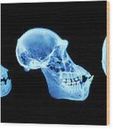 Primate Skulls Wood Print