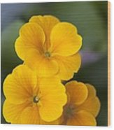 Primrose (primula Polyanthus) Wood Print by Maria Mosolova