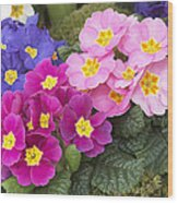Primrose Primula Sp Flowers Wood Print