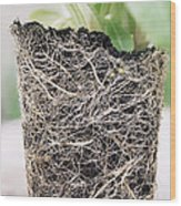 Primrose Roots (primula Vialii) Wood Print