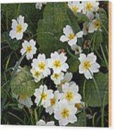 Primroses (primula Vulgaris) Wood Print by Dr Keith Wheeler