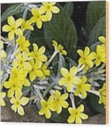 Primula Verticillata Flowers Wood Print