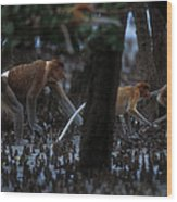 Proboscis Monkeys Travel Over Mangrove Wood Print by Tim Laman