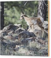 Pronghorn Antelope Fawn Wood Print