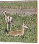 Pronghorn Antelope With Young Wood Print