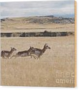 Pronghorn Antelopes On The Run Wood Print