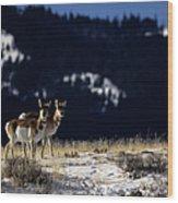Pronghorn (antilocarpa Americana) Wood Print by Altrendo Nature
