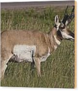 Pronghorn Male Custer State Park Black Hills South Dakota -1 Wood Print