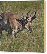 Pronghorn Male Custer State Park Black Hills South Dakota -3 Wood Print