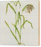 Proso Millet (panicum Miliaceum), Artwork Wood Print by Lizzie Harper