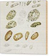 Protozoa, Historical Artwork Wood Print