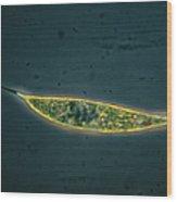 Protozoan Algae Wood Print by Eric Grave