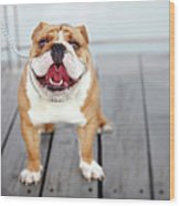 Puppy Dog Breed English Bulldog Wood Print