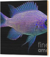 Purple Chromis Wood Print