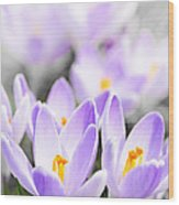 Purple Crocus Blossoms Wood Print