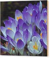 Purple Crocus Cluster Spring Choir Wood Print