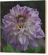 Purple Dahlia 3 Wood Print