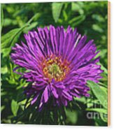 Purple Dome New England Aster Wood Print
