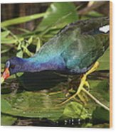 Purple Gallinule Wood Print