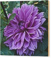 Purple Haze Dahlia Wood Print