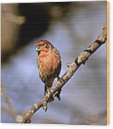 Purple House Finch Wood Print