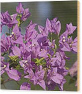 Purple Of The Bougainvillea Blossoms Wood Print