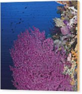 Purple Sea Fan In Raja Ampat, Indonesia Wood Print