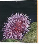 Purple Sea Urchin Feeding California Wood Print