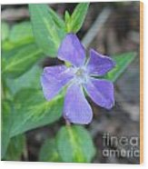 Purple Vinca Wood Print