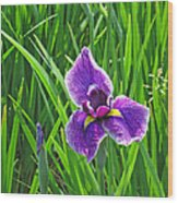Purple Water Iris Wood Print