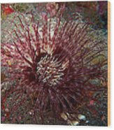 Purple-white Cylinder Anemone Wood Print