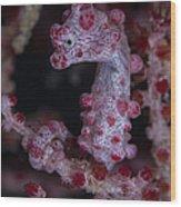 Pygmy Seahorse, Australia Wood Print