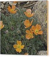 Pyrenean Poppy (papaver Lapeyrousianum) Wood Print