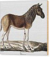 Quagga (equus Quagga) Wood Print