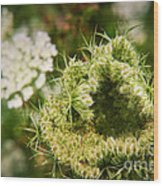 Queen Anne's Lace Going To Seed Wood Print