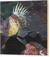 Quillback Rockfish  Wood Print