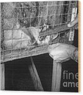 Rabid Fox, 1958 Wood Print
