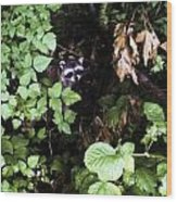 Raccoon Amongst The Green Wood Print