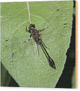 Racket-tailed Emerald Dragonfly Wood Print