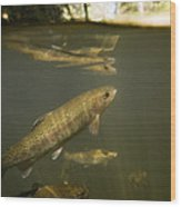 Rainbow Trout In Creek  Aptos California Wood Print